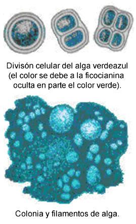 División celular del alga verdeazul