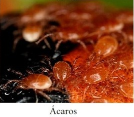 Ácaro