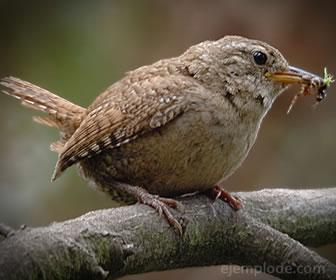 Los pájaros son insectívoros aunque comen semillas y algunos roedores.