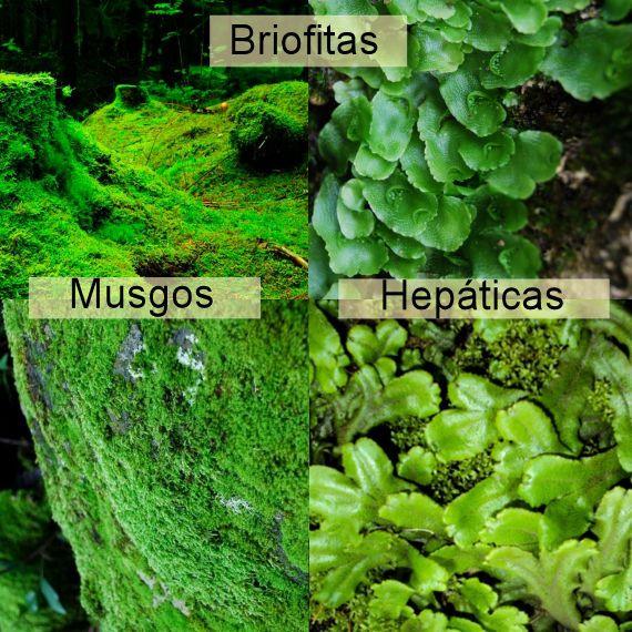 Las briofitas for Que son plantas ornamentales ejemplos