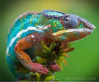 El camaleón se puede camuflar para cazar o protegerse.