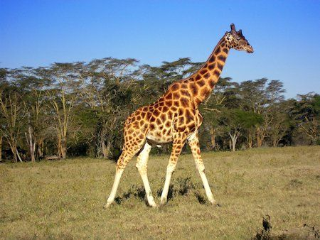 Características de la jirafa, altura