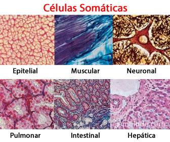 Células somáticas, epitelial, muscular, neuronal, pulmonar, intestinal, hepática.
