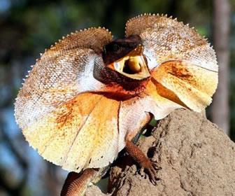 Clamidosaurio de King, reptil