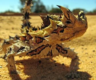 Diablo espinoso, reptil