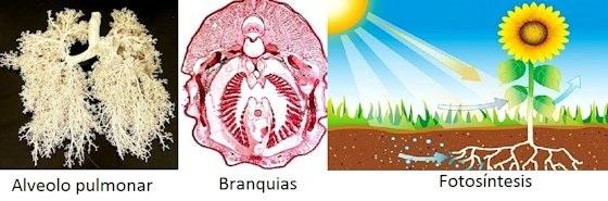 Sistema respiratorio, pulmonar, branquias y fotosíntesis