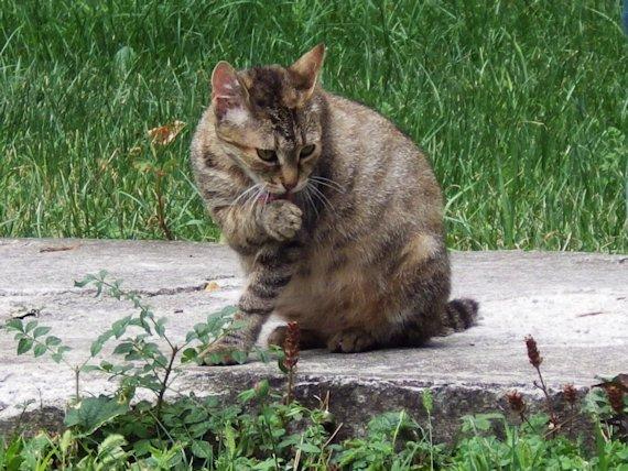 Aspecto del gato domestico