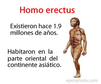 El homo erectus fue un homínido que alcanzó una estatura de entre 1.75 y 1.80 metros.