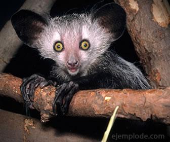 El mono aye aye es un primate insectívoro.