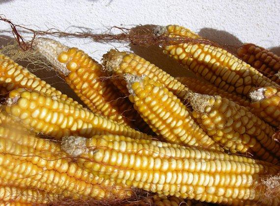 Características del maíz