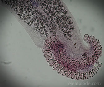 Los céstodos son los paltelmitos más conocidos y son parásitos de los mamíferos.