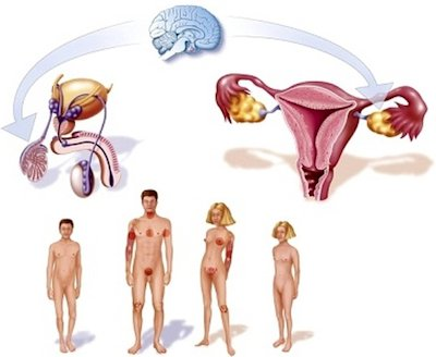 Característicad de la pubertad en hombres y mujeres