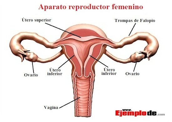 reproduccion-femenina1.jpg