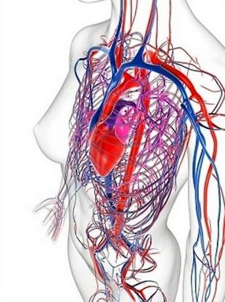 El sistema circulatorio humano