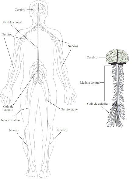 El sistema nervioso del hombre