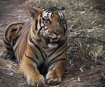 Los tigres pierden su hábitat por el cambio climático.