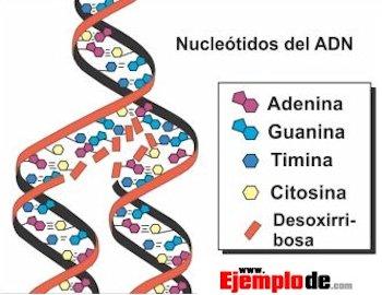 nucleótidos del adn